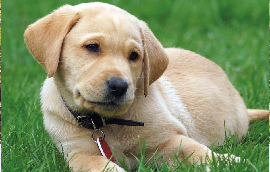 guide dogs for the blind seattle