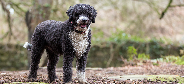 portuguese water dog grooming guide