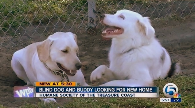 guide dogs for the blind adoption