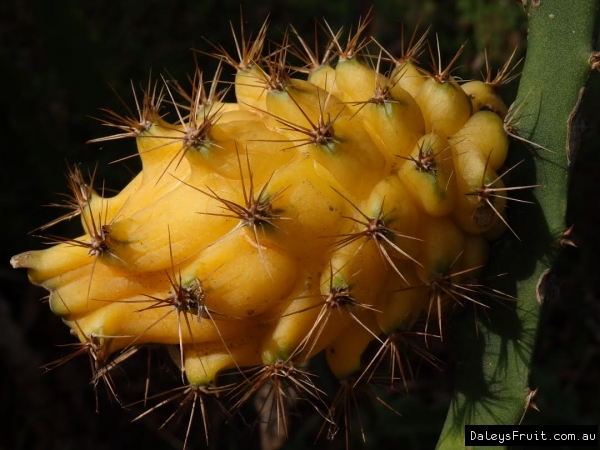 dragon fruit production guide in the philippines